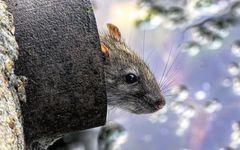 豊洲市場にも必ずネズミはやってくる 築地市場「ネズミせん滅作戦」の無策
