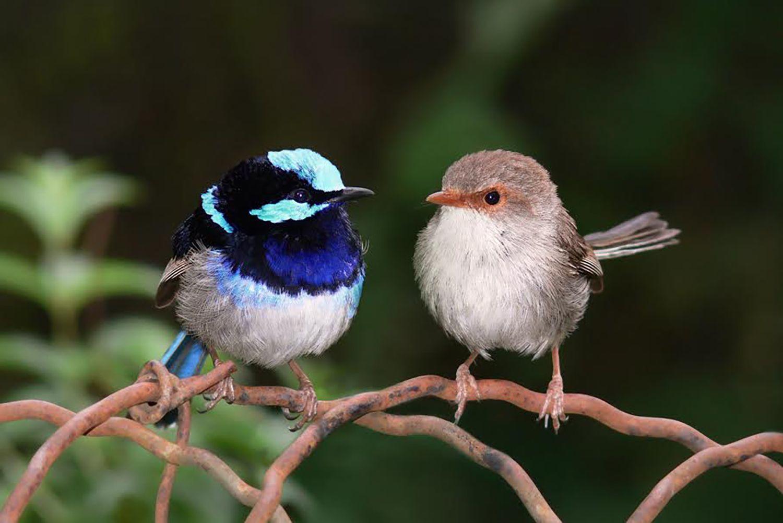 オス(左)もメス(右)も盛んに不倫をするルリオーストラリアムシクイ