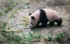 池上さん、上野動物園のパンダ「シャンシャン」は、なぜ中国に帰らなければいけないの?